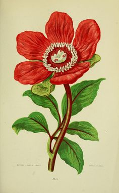 'Entire Leaved Peony' - paeonia corallina by BioDivLibrary via Flickr.