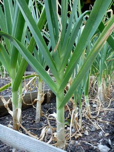 "The Trick of Knowing When to Harvest Garlic. (Tried this last year and lost my garlic experiment by waiting too long to ""harvest"" my 2 bulbs.)"