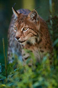 """beautiful-wildlife: """"Male Lynx by © Stefan Rosengarten """""""