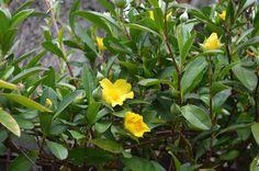 Hibbertia scandens - Golden Guinea Flower. Trailing ground cover