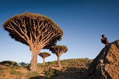 """There is an island called Socotra and it has 825 rare species of plants, 90% of its reptile species and 95% of its land snail species do not occur anywhere else in the world."""