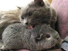 Kitty and guinea pig friends