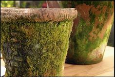 Mossy Pots-- cup plain active cultured yogurt in a blender, add a handful of moss and about cup water, and blend for 30 seconds. Use a paintbrush to spread the mixture wherever you want moss to grow on your terracotta pots. Garden Crafts, Garden Projects, Garden Ideas, Diy Garden, Moss Graffiti, Unique Garden, Growing Moss, Pot Jardin, Paludarium