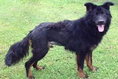 KP is an adoptable Belgian Shepherd Malinois Dog in Bunnell, FL. KP is a 1 year old Belgian Shepherd/ Shepherd mix. He is a sweet boy. He is Neutered, up to date on vaccines, on preventative and micro...