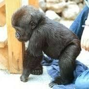Koko the gorilla as a baby