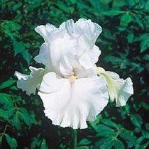 Bearded Iris Immortality
