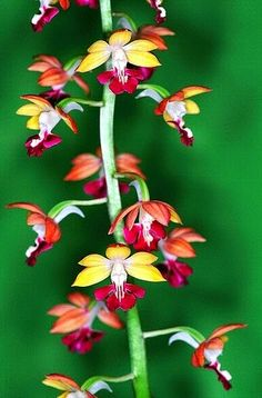 Orchid- Flower   Dreaming Gardens