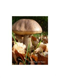 Poster from a Celine Photos Art Nature Photography of a bolete mushroom. Wild Mushrooms, Stuffed Mushrooms, Celine, Felt Mushroom, Hanging Ornaments, Nature Pictures, Belle Photo, Pacific Northwest, North West