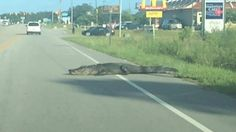Large alligator seen crossing the road in North Carolina www.sta.cr/2oJ15 #whoa #alligator #bigreptile