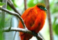 Fijian Orange Dove Fiji, Beautiful Birds, Cute Animals, Wildlife, Orange, Islands, Language, Paintings, Embroidery