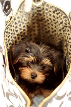 Yorkie  I might be able to sneak you into my home.