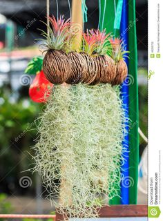 Rows Of Tillandsia And Spanish Moss Remix Stock Image - Image of gray, decoration: 46209755 Air Plant Display, Diy Plant Stand, Plant Decor, Plant Stands, Hanging Potted Plants, Best Indoor Hanging Plants, Moss Decor, Air Plants Care, Air Plant Terrarium