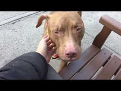 TOTALLY UNNECESSARY AND HEARTBREAKING  MURDERED 12/10/16 HOW COULD THEY?? Brooklyn Center My name is MACCI. My Animal ID # is A1098306. I am a neutered male brown and white am pit bull ter mix. The shelter thinks I am about 3 YEARS old. I came in the shelter as a STRAY on 11/30/2016 from NY 11208, owner surrender reason stated was OWN ARREST. http://nycdogs.urgentpodr.org/macci-a1098306/