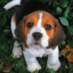 Cute little beagle puppy.  My biggest weakness is hound and spaniel breed dogs :)  It's the ears, I can't resist the ears!