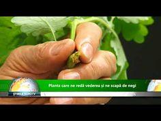 Planta care ne reda vederea si ne scapa de negi 27 05 2019 - YouTube Make It Yourself, Mai, Youtube, Flora, Eyes, Garden, Therapy, Sweets, Plant