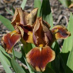 SDB Iris germanica 'Baby Brown Eyes' (Pinegar, 1993)