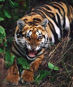 Bangladesh: Bengal Tigers - Worst Places for Animal Attacks | Travel + Leisure