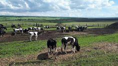 В продаже более 200 голов молочного скота с доставкой! +79656176005 WhatsApp пишите