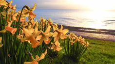 """Spring is on the way: Our Pic of the Day shows these beautiful daffodils, captured by Gareth Lovering in Swansea Bay"" Swansea Bay, 8th Of March, Bbc News, Daffodils, Wales, Earth, Fathers, Seasons, Pictures"