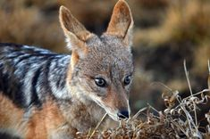 black-backed-jackal-canis-mesomelas-face-kruger-national-park-south-africa-57166935.jpg (800×530)
