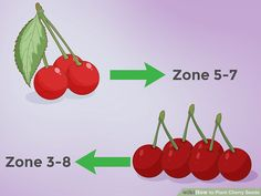 How to Plant Cherry Seeds (with Pictures) - wikiHow Cherry Tree From Seed, Growing Cherry Trees, Cherry Seeds, Cherry Plant, Plantas Bonsai, Comment Planter, Peat Moss, Sour Cherry, Garden Yard Ideas