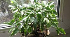 Принято считать, что домашние растения должны услаждать взор и радовать жильцов чудесным ароматом. О...