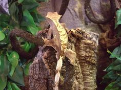 Flame Crested Gecko in store at Evolution Reptiles Oxford. Crested Gecko, Geckos, Livestock, Reptiles, Evolution, How To Find Out, Oxford, Pets, Store