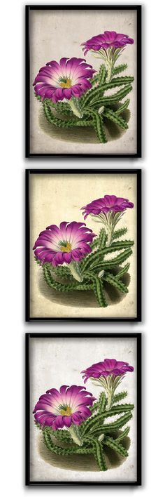 Spectacular species of cactus native to Texas and central America. Majestic magenta flowers presented in full bloom, a true beauty.  This vintage illustration is handcrafted with museum-quality heavyweight durable, acid-free cotton paper and fingerprint-resistant, durable and archival inks. This is an excellent gift or a lovely print for your home.