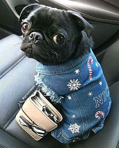 Nothing cuter than a #pug in denim!