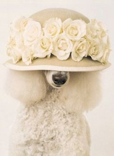 Pets With Hats - Poodles - A fancy poodle with a fancy hat jpg I Love Dogs, Puppy Love, Cute Dogs, French Poodles, Standard Poodles, Poodle Cuts, Fancy Hats, Fur Babies, Dog Cat