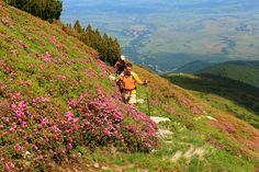 Carpathian Mountains wildflowers: Rhododendron  9  © Iulian Cozma www.MountainGuide.ro