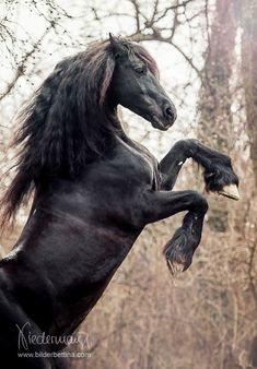 Agelan, Friesian stallion. Fotografie Bettina Niedermayr