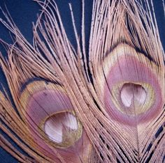 Dusty Pink Peacock Feathers - great as wall art or inspiration for color scheme.