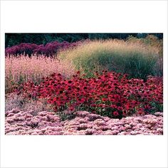 GAP Photos - Garden & Plant Picture Library - Pink border with Echinacea purpurea, Sedumd and grasses at Millennium garden at Pensthorpe in Norfolk - Piet Oudolf -