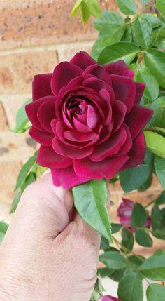 Taken y Nathalie Larue - Burgundy Iceburg Rose