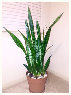 Sansevieria, Snake plant, mother in law's tongue, Saint George's sword.