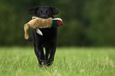 We're a hunting family and I hope this dog hunts more that stuffed birds. This is way tooooo cute.