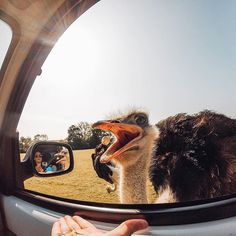 An #ostrich reaches in and snaps up a kernal of popcorn. Photo by Charley Luchini using the HERO3 Silver. Share your best animal moments with us by clicking the link in our profile. #GoPro