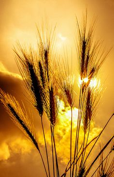 Fields of gold Beautiful Sunset, Beautiful World, Beautiful Images, Fields Of Gold, Gold Aesthetic, Nature Pictures, Amazing Nature, Belle Photo, Beautiful Landscapes