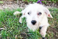 Three Good Fairies - Merryweather is an adoptable Chinese Crested Dog Dog in San Diego, CA. Flora, Fauna, and Merryweather are three lovely ladies who deserve the beautiful grace that their names sugg...