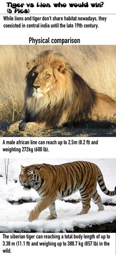 Tiger vs Lion, who would win! (5 Pics)