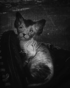 """5 weeks old Lykoi kitten who is just beginning to """"wolf out"""". That is the joking term we use for when the Lykoi molt their coat and grow that patchy hair back in that is reminiscent of the old werewolf movies. ~ Lykoi cats by Brittney Gobble"""
