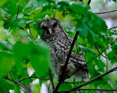 GREAT PIC! Wild Birds Unlimited, Barred Owl, Owl Family, Great Pic, Nesting Boxes, Animals Images, Habitats, Woodland, Nest Box