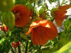 Abutilon pictum Thompsonii