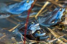 Blue-coloured male moor frogs (Rana arvalis) in a pond in Klein Salitz, Germany. During mating season, the males' skin appear blue-violet due to spectral reflection. The exact reason for the colour change remains unexplained, but is thought to give visual signal to attract females or fend of competing males.