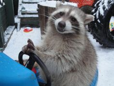 Just a raccoon, driving in the snow, asking you to vote Critter Care: http://www.avivacommunityfund.org/ideas/acf16834