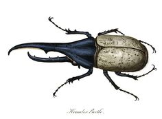 Plate showing a male Hercules beetle (Dynastes hercules), a tropical insect in the Scarabaeidae family