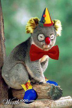 koala clown