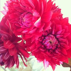 theglitterguide:    Beautiful dahlias. (Taken with Instagram)