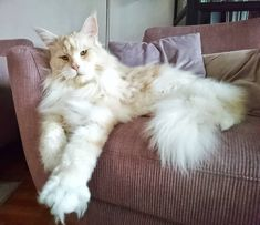 The Maine Coon cat looks like a mythical creature from a fairytale. As one of th… The Maine Coon cat Cool Cats, I Love Cats, Crazy Cats, Cute Kittens, Pretty Cats, Beautiful Cats, Grand Chat, Chat Maine Coon, Maine Coon Kittens